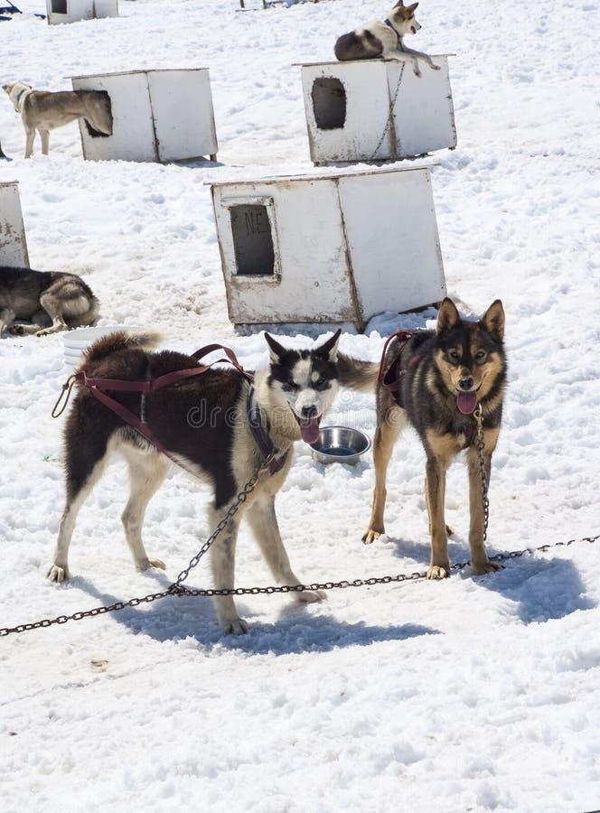 Musher-Lager - Husky Dogs lizenzfreie stockfotografie