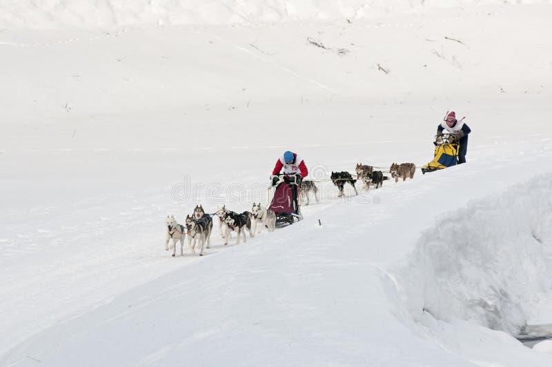 Mushers and teams of sled dog royalty free stock image