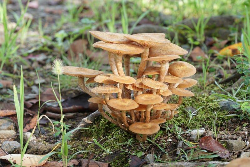 mushroom& x28特写镜头; 蜜环菌属tabescens& x29; 库存照片