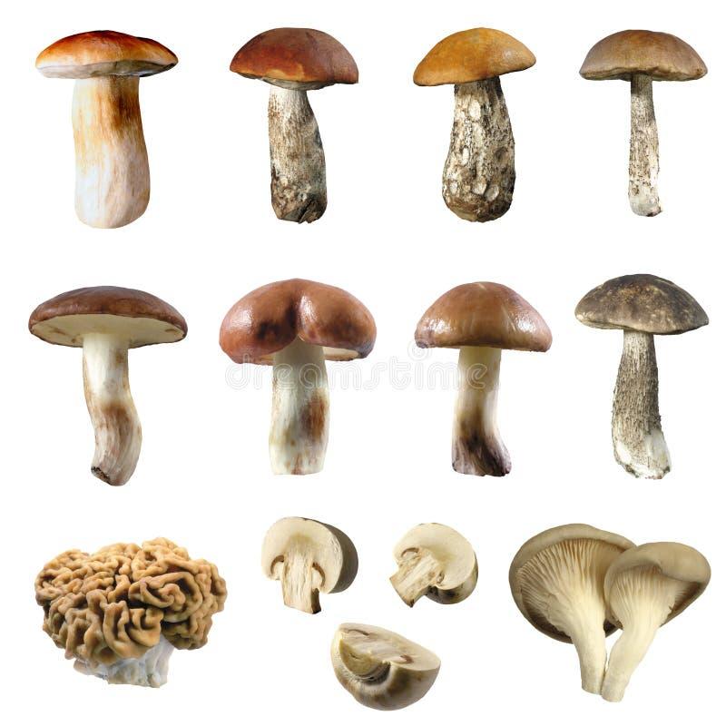 Free Mushroom Royalty Free Stock Photography - 13695237