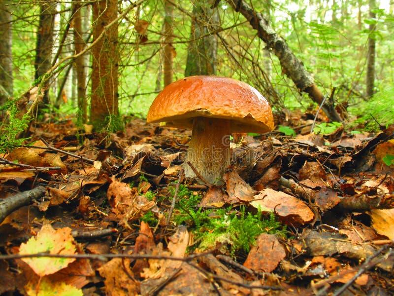 Download Mushroom stock photo. Image of botanical, close, fungus - 3536188