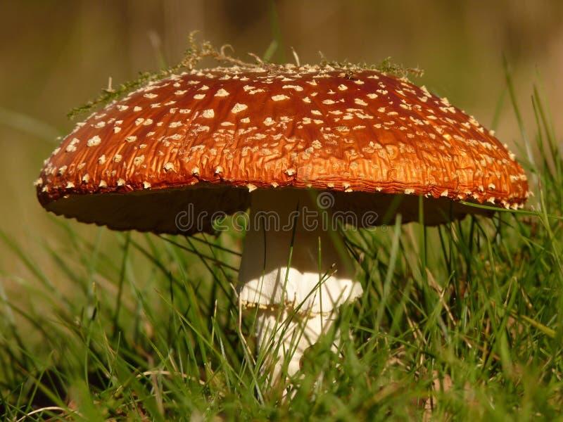 Mushroom, Agaric, Fungus, Edible Mushroom stock image