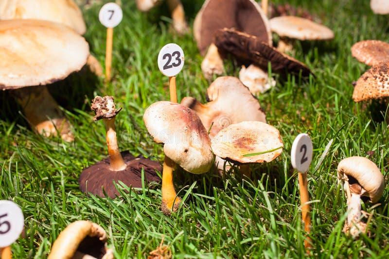Mushroom Agaricus porphyrizon. Close up of the mushroom Agaricus porphyrizon stock photos