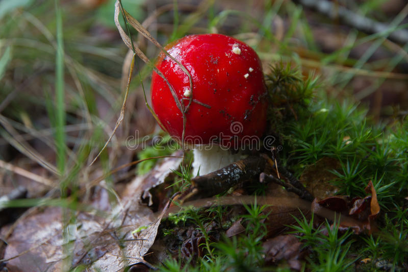 Mushroom Amanita muscaria stock photo