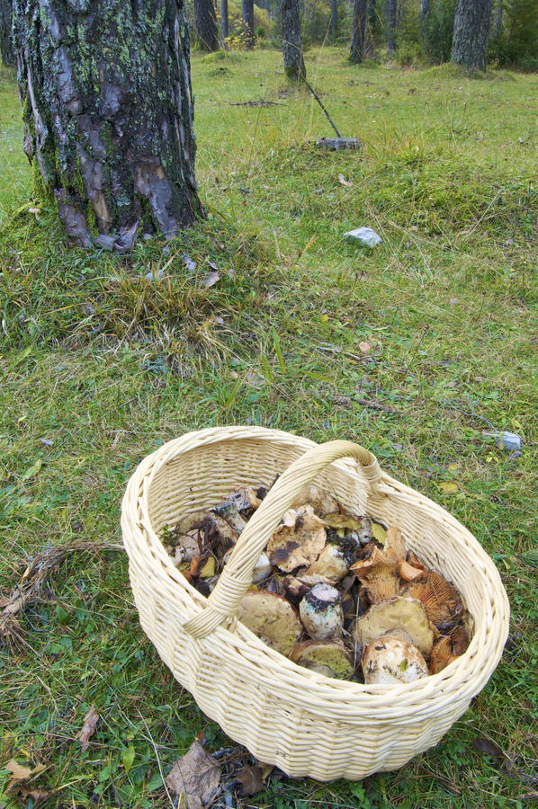 Download Mushroom basket stock photo. Image of fungi, beauty, botanical - 11101510