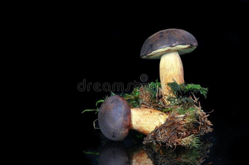 Mushroom Bay Bolete (Boletus badius)