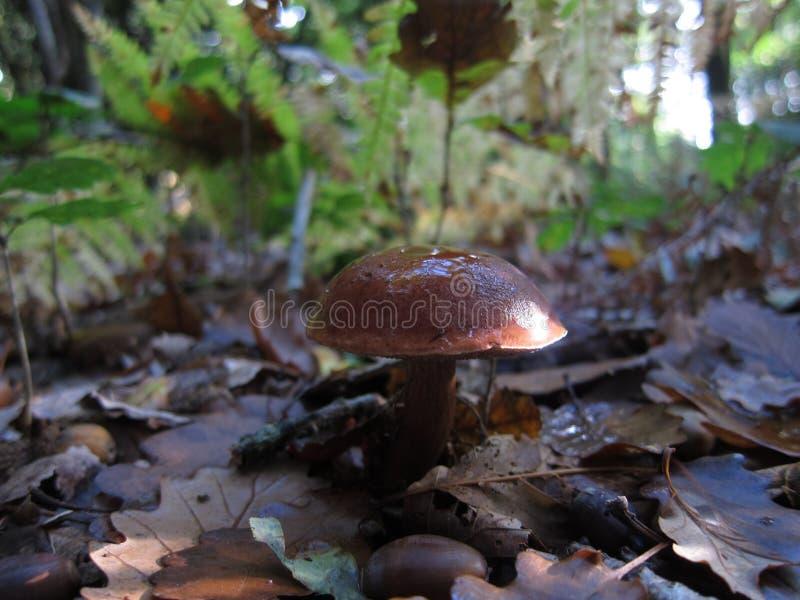 mushroom bolet in a forest stock photos