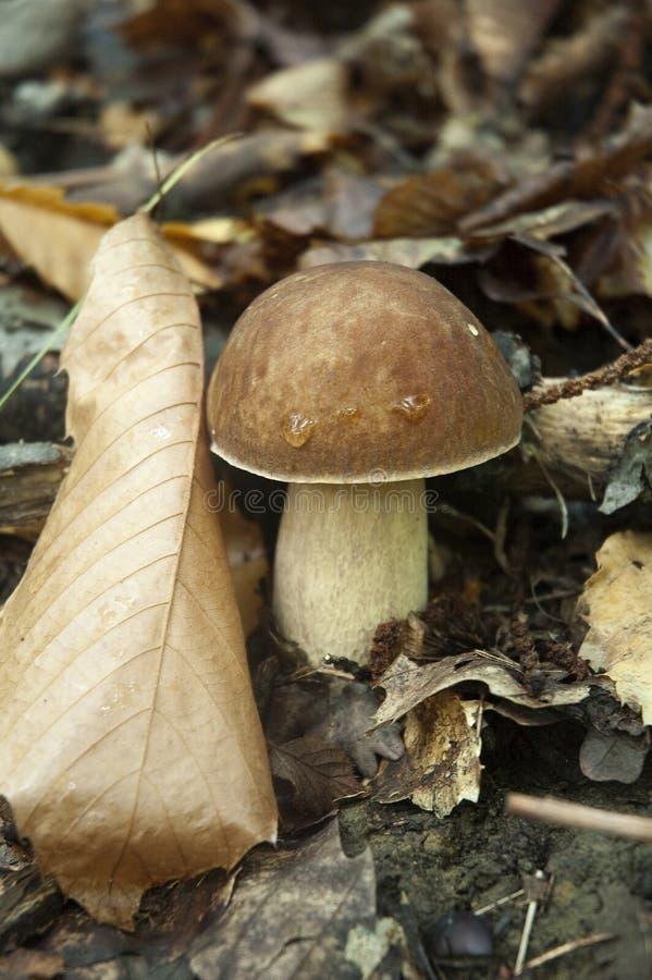 Free Mushroom Boletus Edulis Royalty Free Stock Photography - 14140407