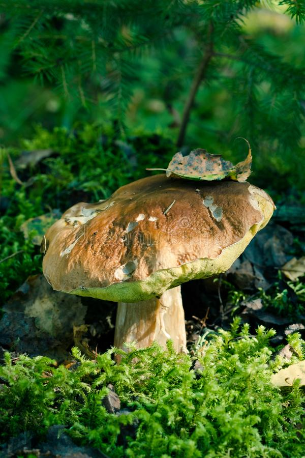 Mushroom Boletus Edulis On Green Mosss. stock images