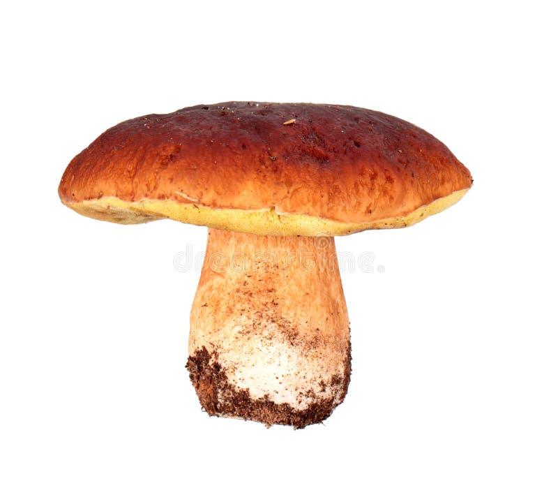 Mushroom: Boletus edulis stock image