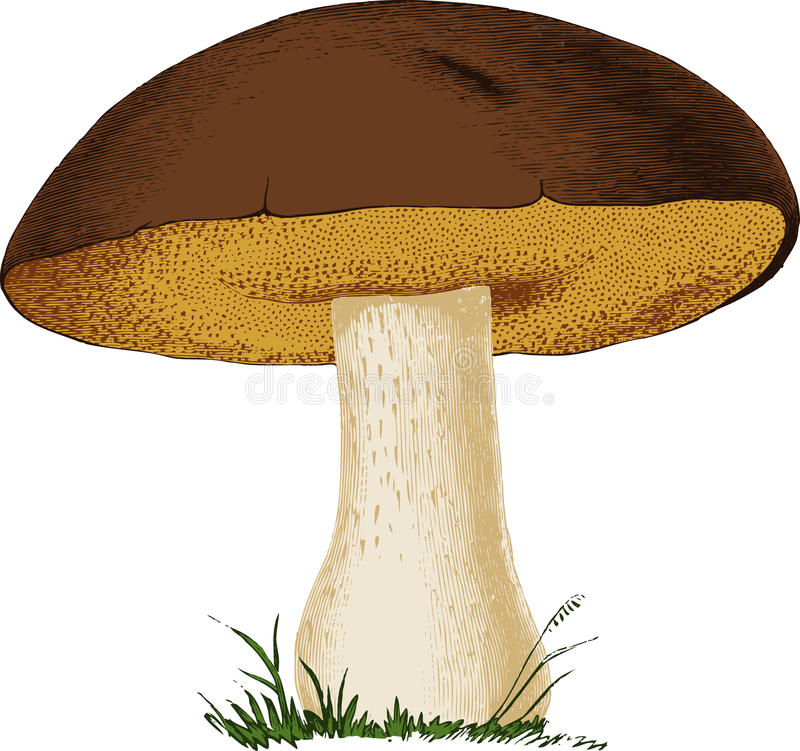 Free Mushroom Boletus Edulis. Vector Stock Photos - 28547113