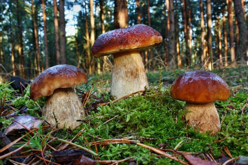 Mushroom boletus royalty free stock image