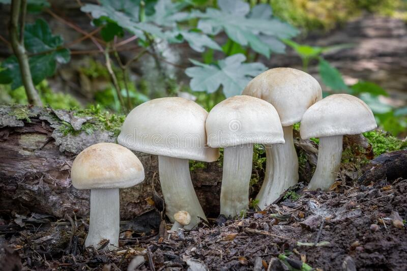 Mushroom Calocybe gambosa commonly known as St. Georges mushroom royalty free stock photo