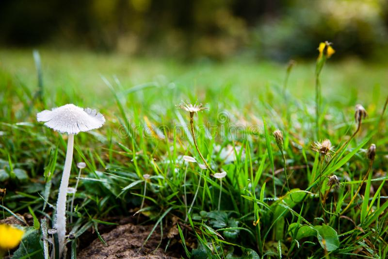 Mushroom close-up. Green grass in the background. Moody rustic background. Summer in the mountains. royalty free stock image