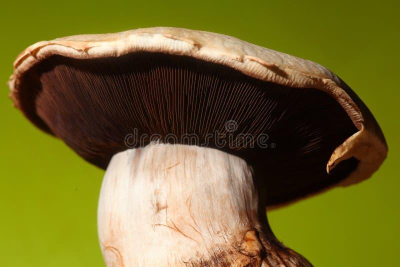 Download Mushroom closeup stock image. Image of macro, healthy - 15067659