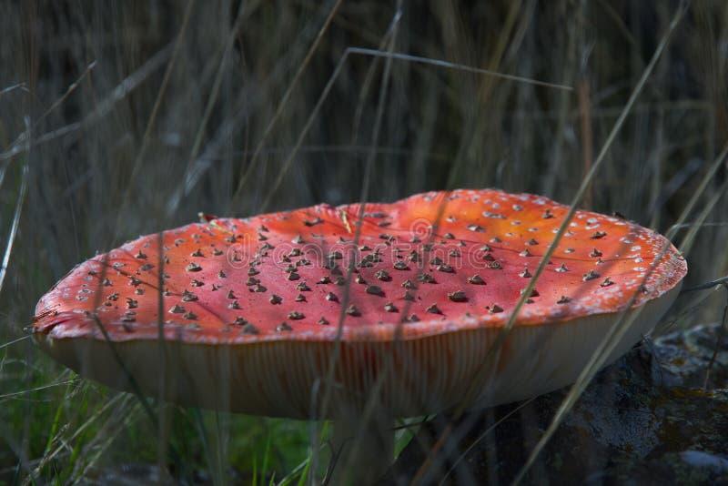 Mushroom Fly Agaric royalty free stock image