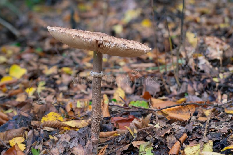 Mushroom in the forest. Amanita phalloides. royalty free stock photo