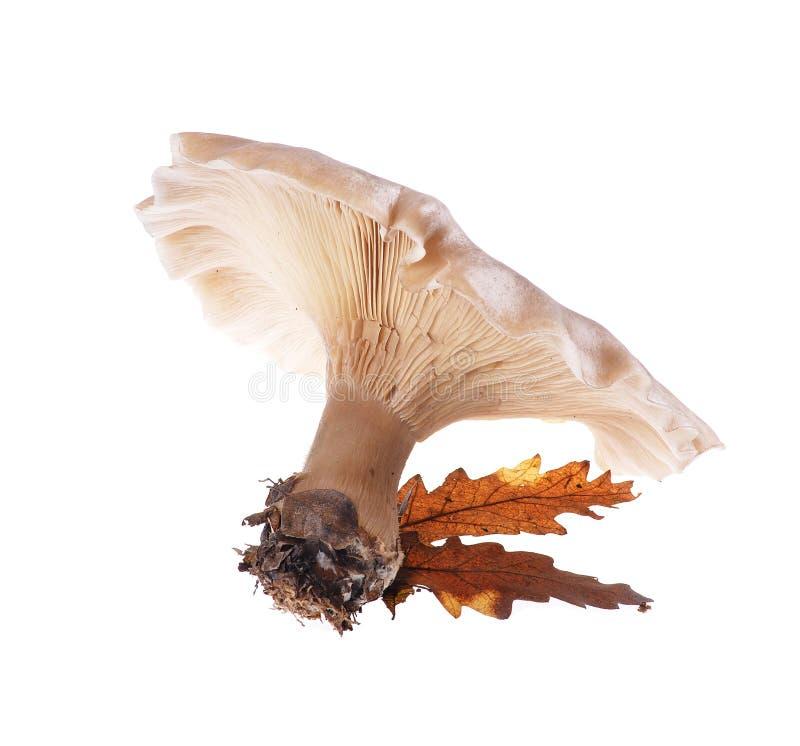 Mushroom. Forest inedible mushroom isolated on white background royalty free stock photo