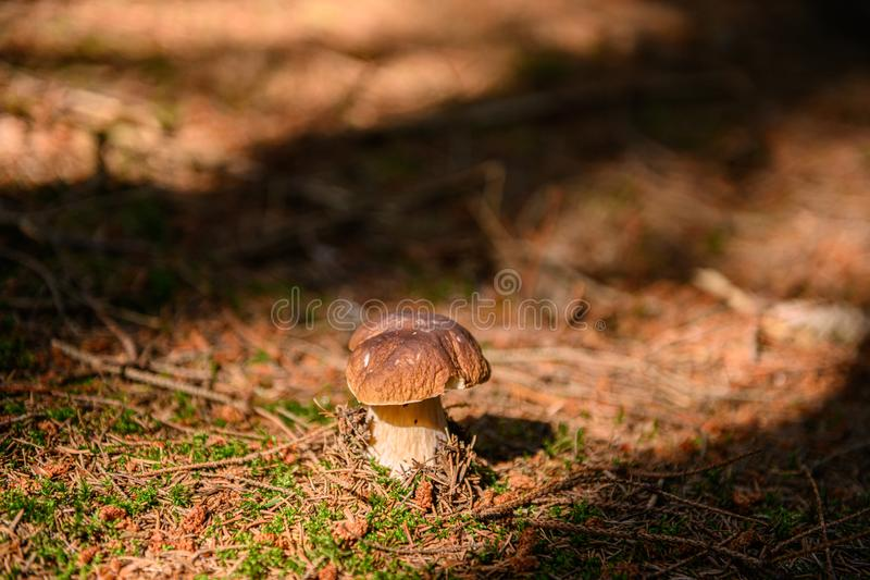 Mushroom on the forrest ground stock picture by Brian Holm Nielsen-1. Mushroom on the forrest ground in autumn sunlight, stock picture royalty free stock photos