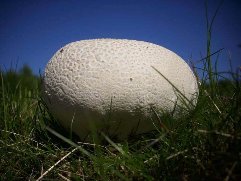 Giant puffball fungus stock photography