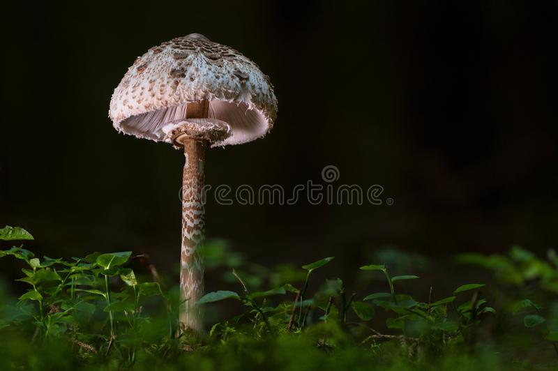 Mushroom, Fungus, Edible Mushroom, Agaricaceae stock image