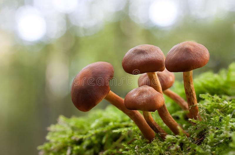 Mushroom in green moss royalty free stock photography