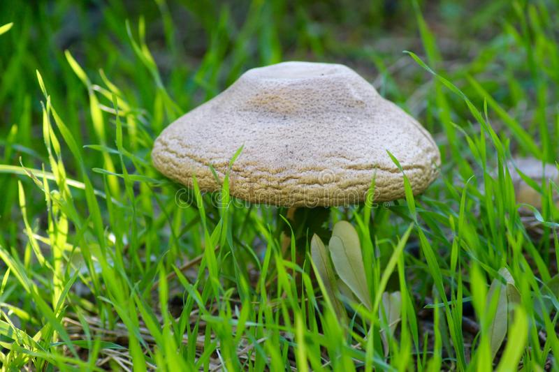 The Mushrooms are growing in the fields in Italy stock image