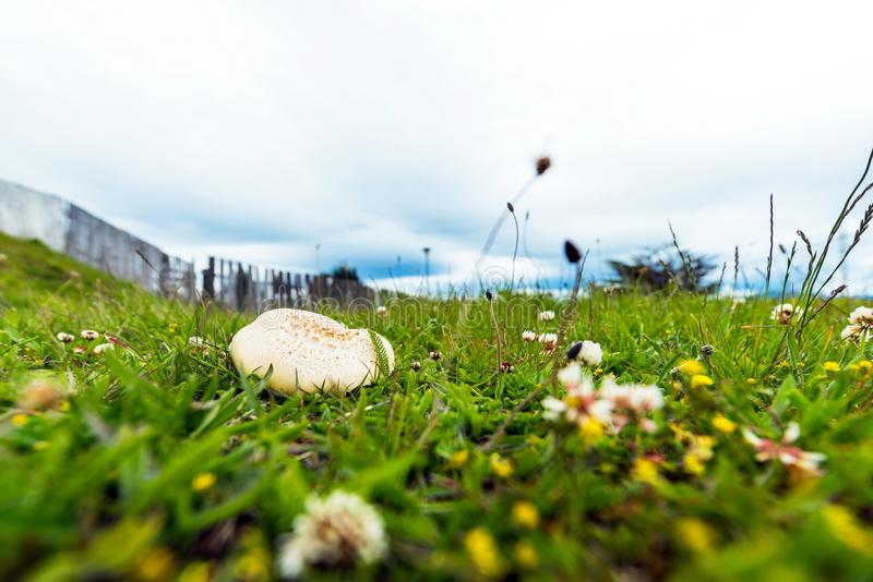 Mushroom grown on green grass, Puerto Natales, Chile. With selective focus.  royalty free stock image