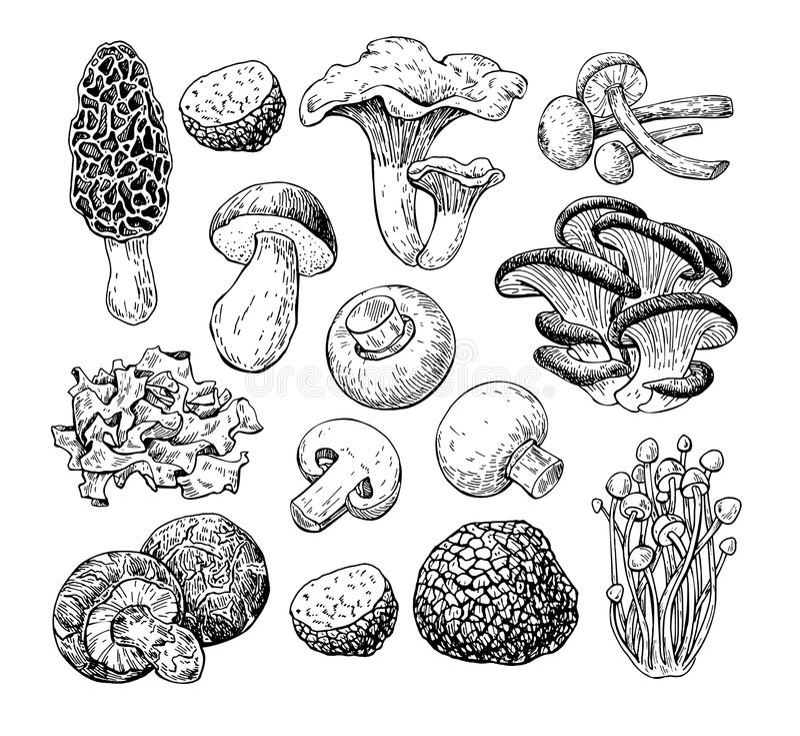 Mushroom hand drawn vector illustration. Sketch food drawing iso royalty free illustration