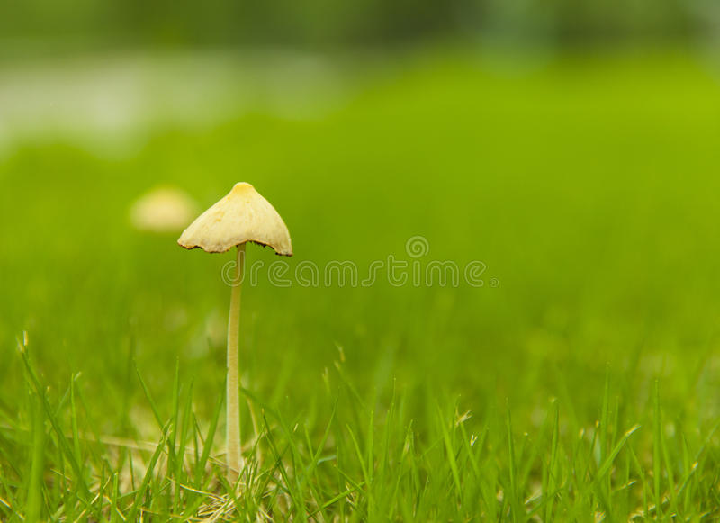 Mushroom on the lawn. Single mushroom in spring, with green blurred background stock photo