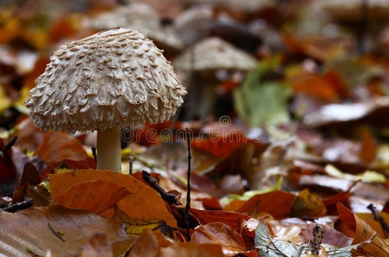 Mushroom , lepiota rhacodes royalty free stock photos