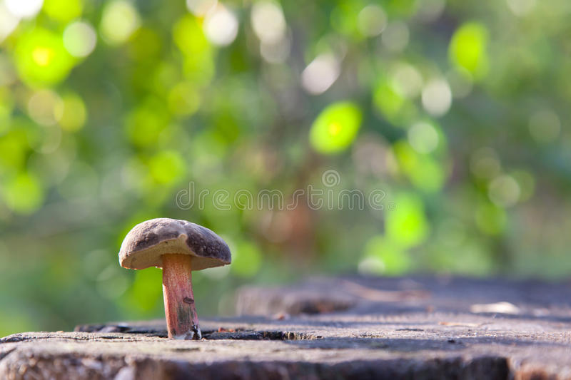 Download Mushroom lubricator stock photo. Image of meadow, delicacy - 26645642