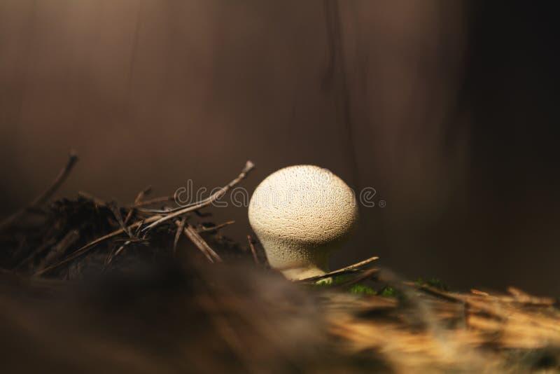 The mushroom Lycoperdon perlatum known as the common puffball, w stock photo