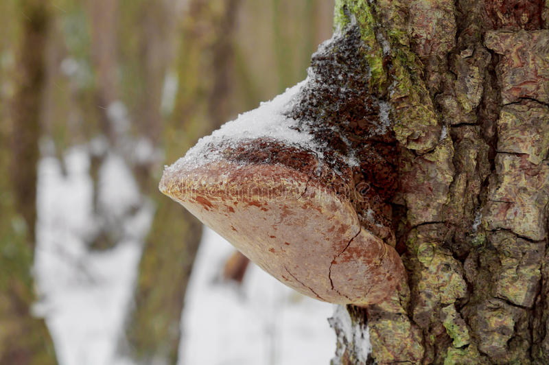 Mushroom on the old tree covered with snow. Tree, natural, forest, winter, mushroom, fungus, season stock photos