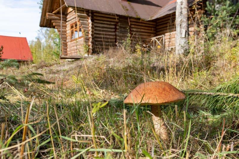 Mushroom Orange Cap Boletus grows right next to the village house.  stock photography