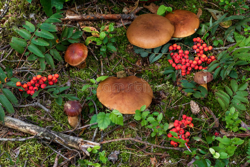 Mushroom (porcini) on moss in forest. stock photography