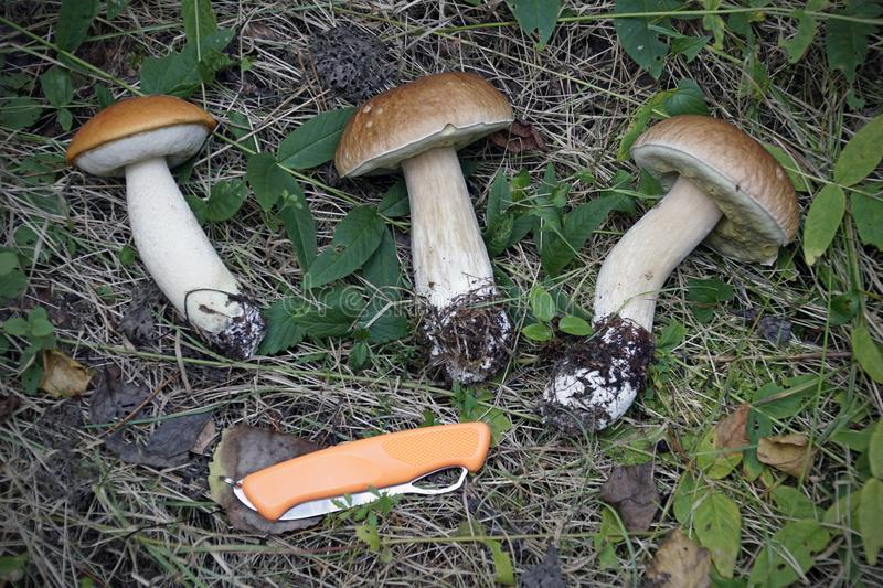 Mushroom season. Mushrooms boletus and boletus. Found in the forest. Silent hunting. Hats feet royalty free stock images