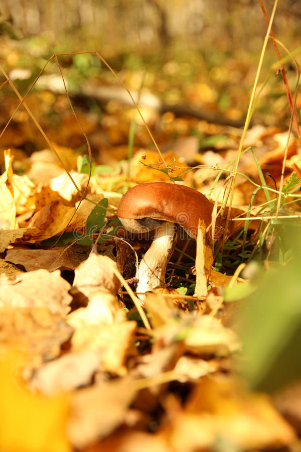 Mushroom in the woods royalty free stock photos