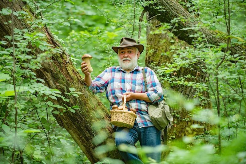 Mushroomer gathering Mushroom hunting. Smiling man picking mushrooms in the autumn forest. Senior collect mushrooms in royalty free stock photo