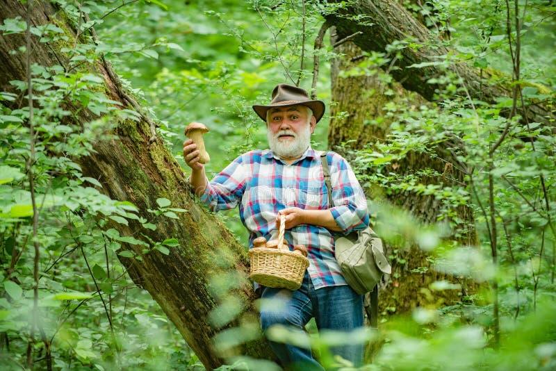 Mushroomer, welches die Pilzjagd erfasst Der lächelnde Mann, der Pilze im Herbstwaldsenior auswählt, sammeln Pilze herein lizenzfreies stockfoto