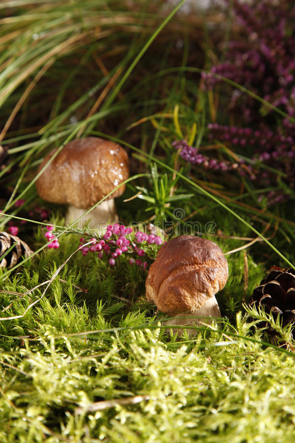 Free Mushrooms Stock Photography - 15994372