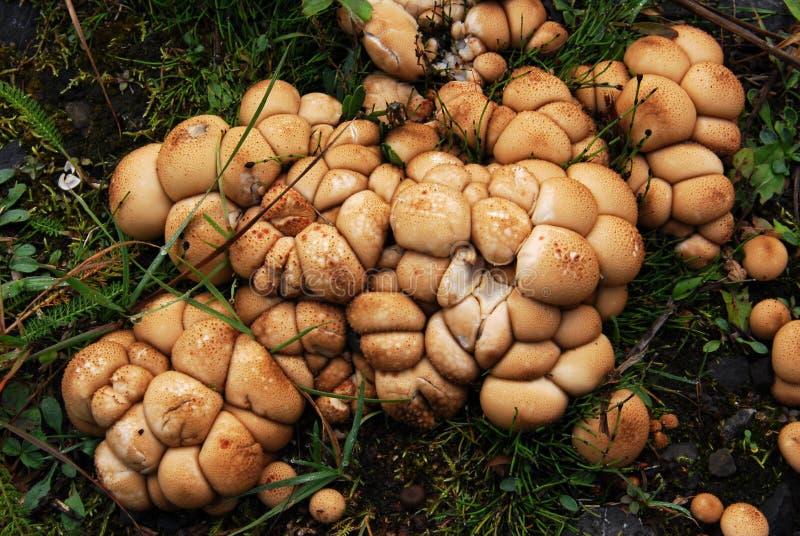 Mushrooms. Closeup view of mushrooms in an autumn forest at kananaskis country, alberta, canada royalty free stock photo