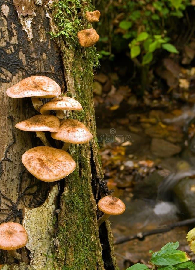 Free Mushrooms And Stream Royalty Free Stock Image - 3441736