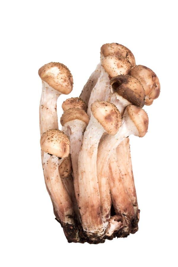 Mushrooms Armillaria mellea isolated on white background.  royalty free stock photo