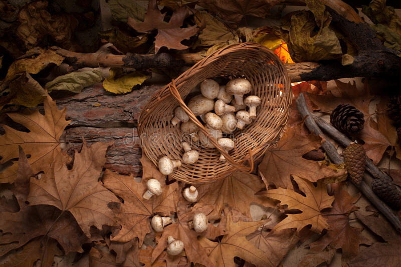 Mushrooms in the basket into the woods. Inverted basket with falling down champignons on the yellow leaves royalty free stock photos