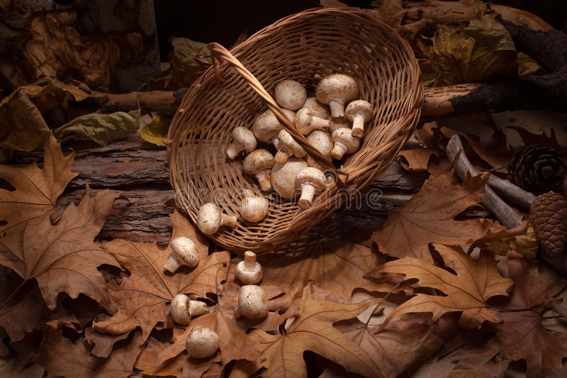 Mushrooms in the basket into the woods. Inverted basket with falling down champions on the yellow leaves stock photos