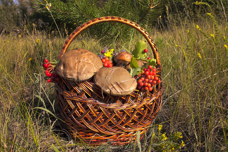 Mushrooms.Bast-basket of Red Cap for her granny. Basket with mushrooms collected in the autumn forest stock images