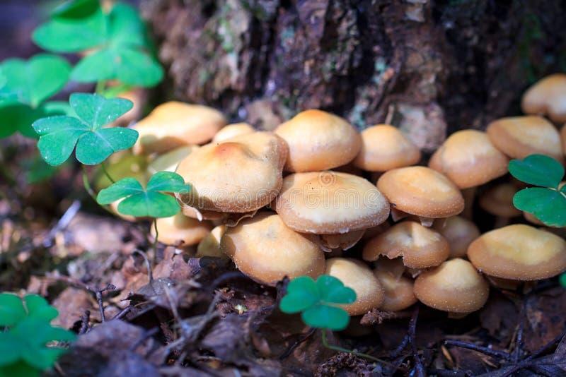 Download Mushrooms clover stock image. Image of forest, shamrock - 29381603