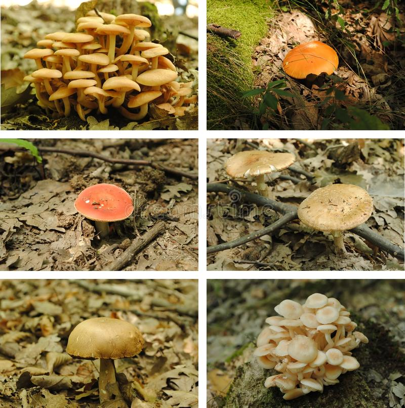 Mushrooms collage. Collage of wild mushrooms in the woods stock images