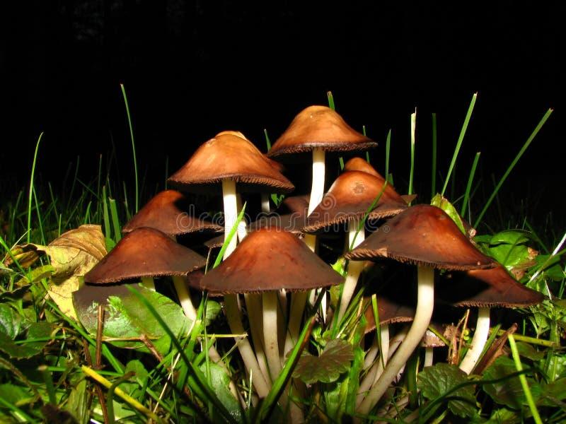 Mushrooms colony. Closup of mushrooms; evening shot with flash stock photos